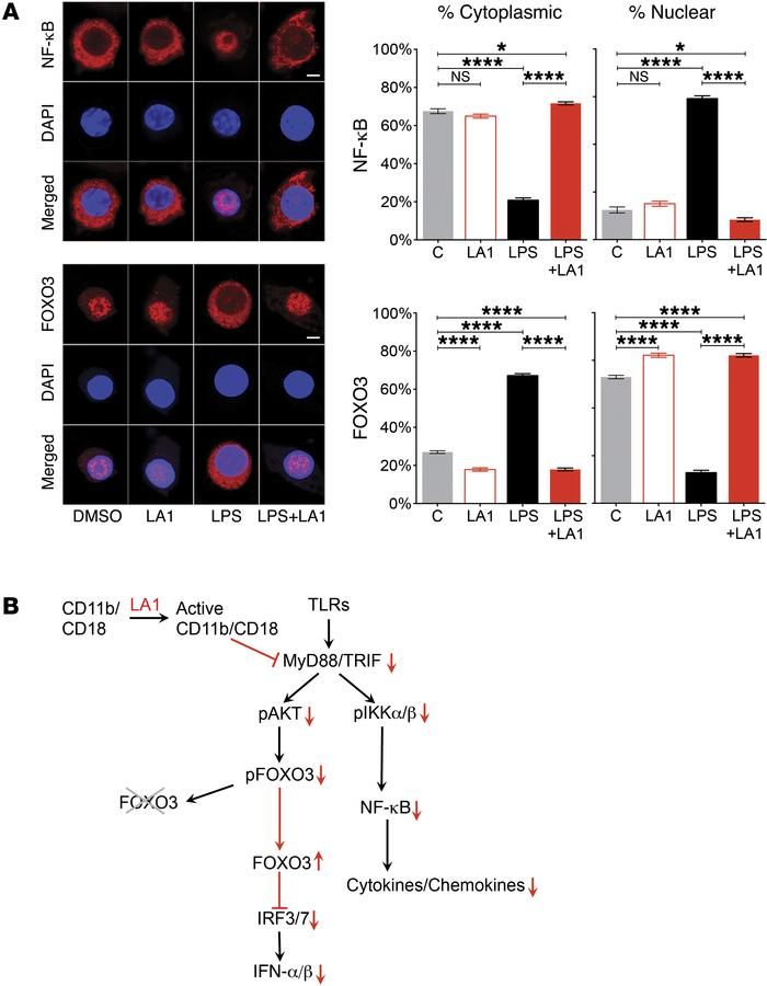CD11b activation preserves retention of FOXO3 in the nucleus. (A) Repres...