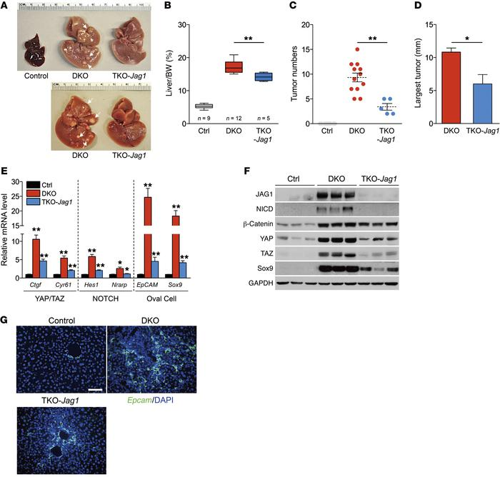 Genetic blockade of Notch signaling suppresses YAP/TAZ activity in vivo....