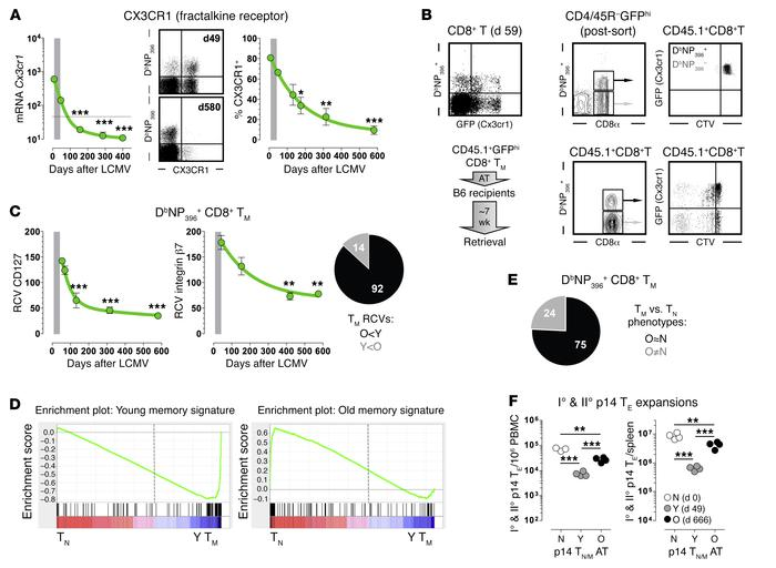 Progressive conversion of aging virus-specific CD8+ TM: towards homogene...