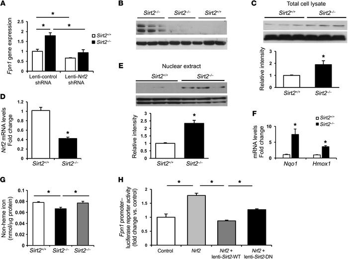Regulation of Fpn1 by SIRT2 occurs through NRF2. (A) Fpn1 mRNA levels in...