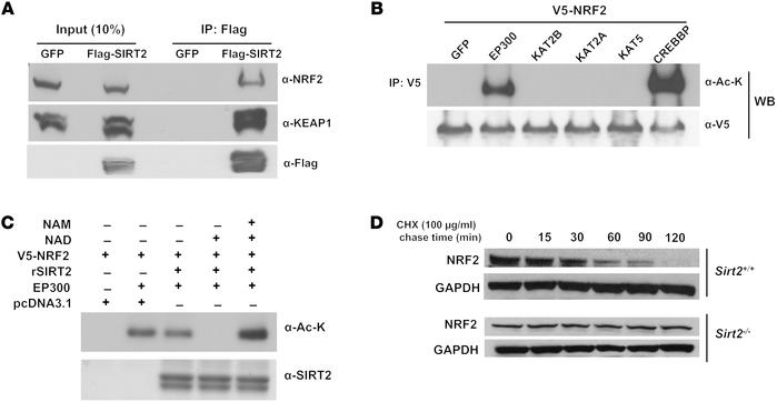 SIRT2 deacetylates NRF2 and promotes its ubiquitination. (A) Co-IP of SI...