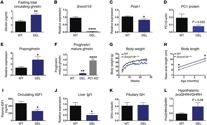 Proghrelin and ProGHRH processing are impaired in Snord116p–/m+ mice. (A...