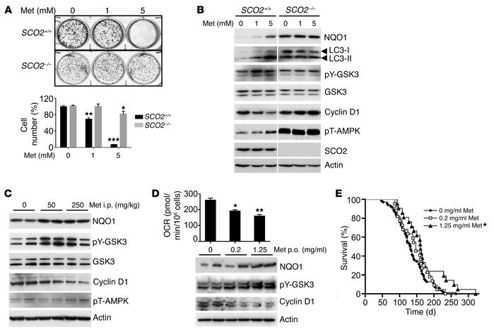 Metformin induces antiproliferation signaling by inhibiting respiration ...
