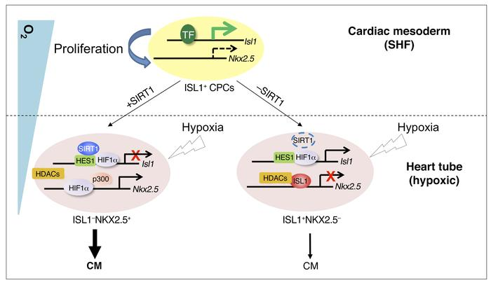 Schematic model of the regulation of ISL1+ CPC behavior by hypoxia, tran...