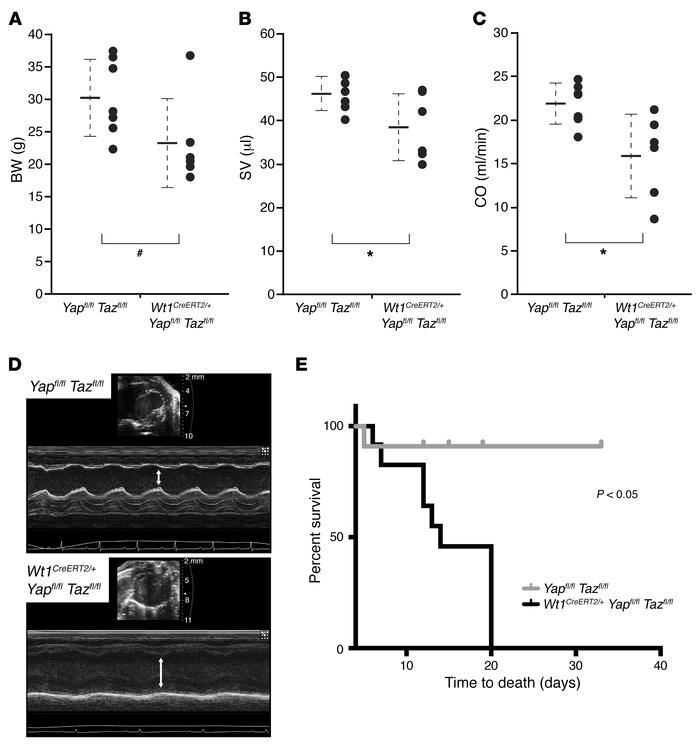 Loss of epicardial YAP/TAZ results in cardiomyopathy and increased morta...