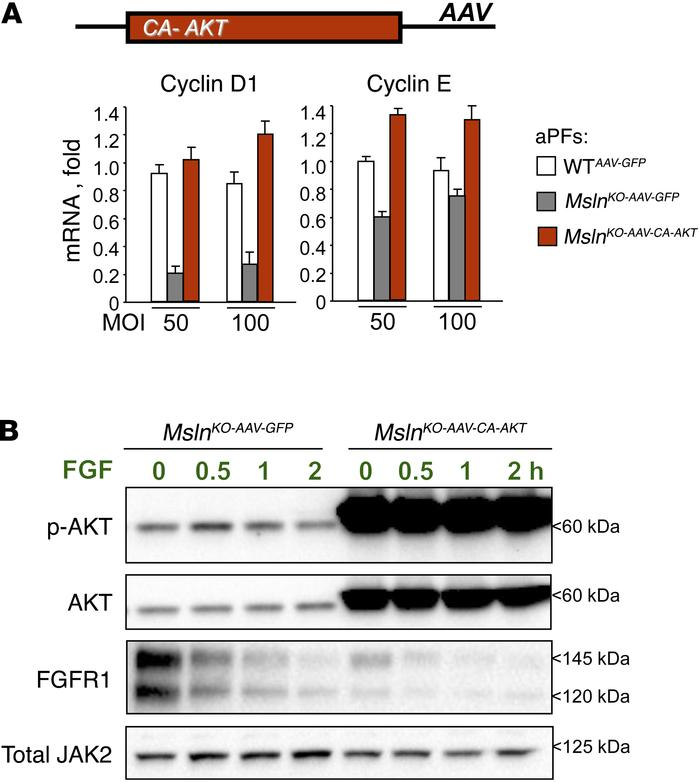 MSLN/MUC16/AKT signaling regulates FGF-dependent proliferation of aPFs. ...