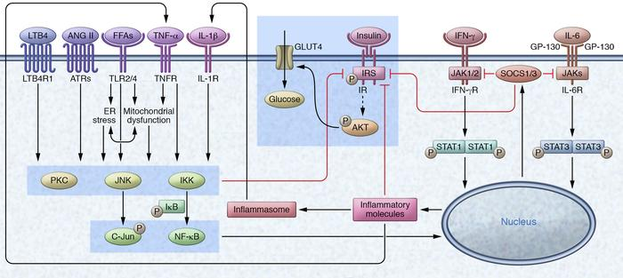 Inflammatory signaling mediates insulin resistance in myocytes. Increase...