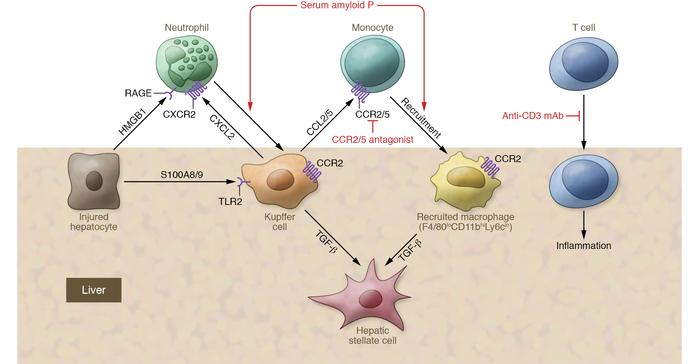Interaction of immune cells and the liver. The initiation of inflammatio...