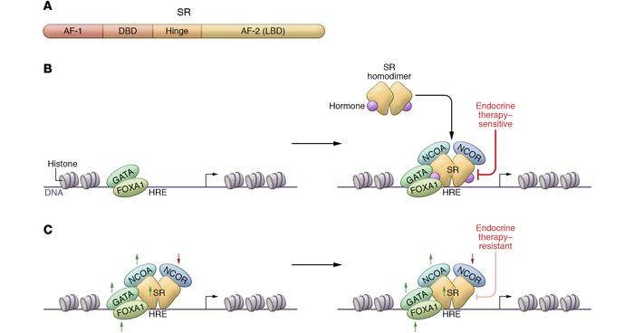 Steroid receptor (SR) structure and function in endocrine therapy–sensit...