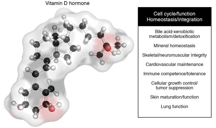Biological roles of the vitamin D hormone. The three-dimensional structu...