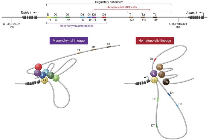 Schematic of the mouse Tnfsf11 (RANKL) gene and its regulatory component...