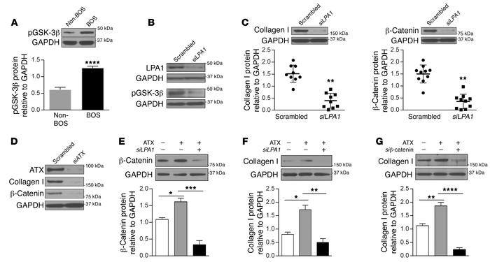 Function of the ATX/LPA/LPA1 signaling axis in β-catenin stabilization a...