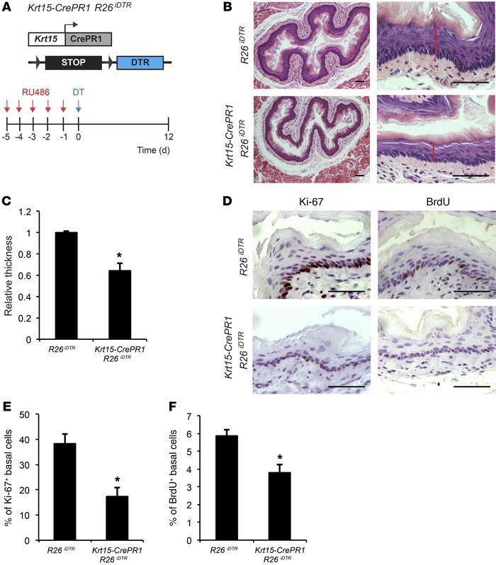 Depletion of Krt15+ cells leads to reduced proliferation and epithelial ...