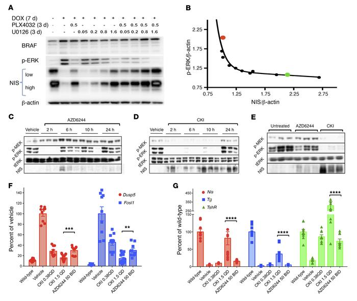Profound inhibition of MAPK signaling is required to restore differentia...