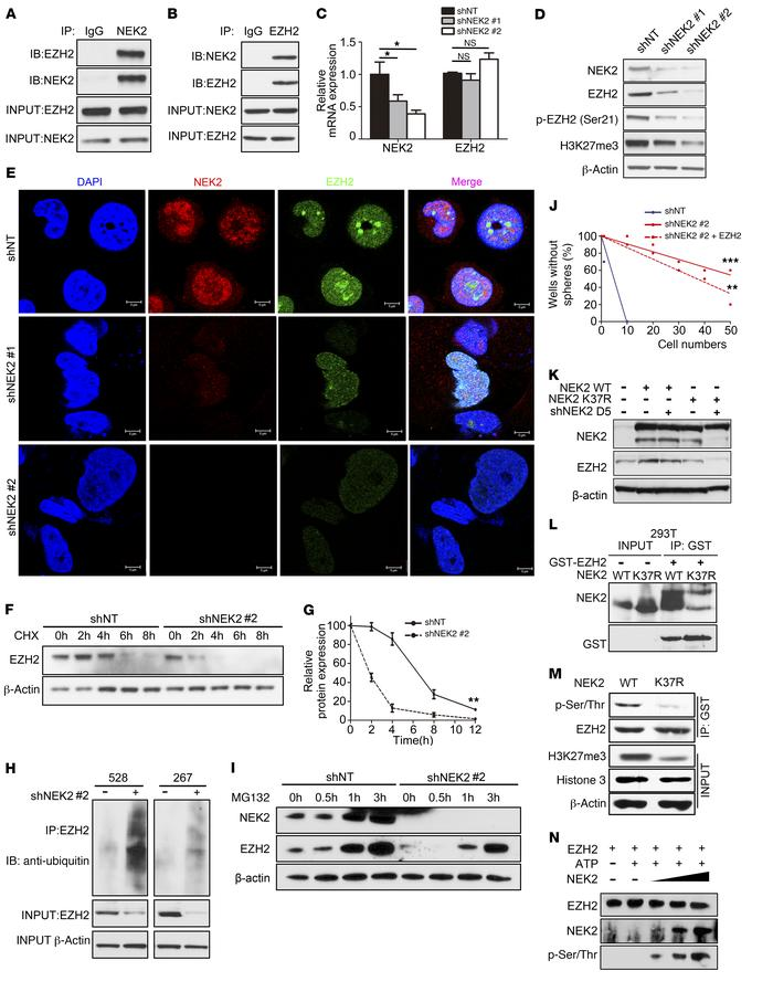 NEK2 signaling is mediated through the regulation of EZH2 protein stabil...