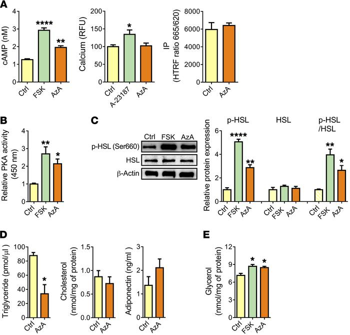 Olfr544 activation by AzA stimulates lipolysis in 3T3-L1 adipocytes. (A)...