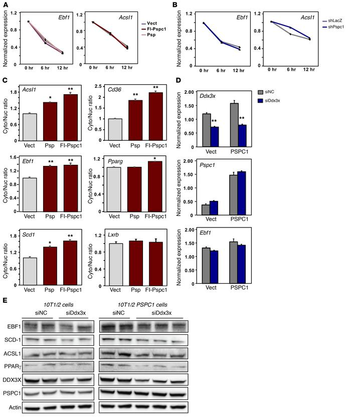 PSPC1 facilitates nucleocytoplasmic export of target mRNAs. (A) Real-tim...