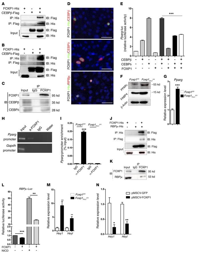FOXP1 controls adipocyte and osteoblast differentiation by interacting w...