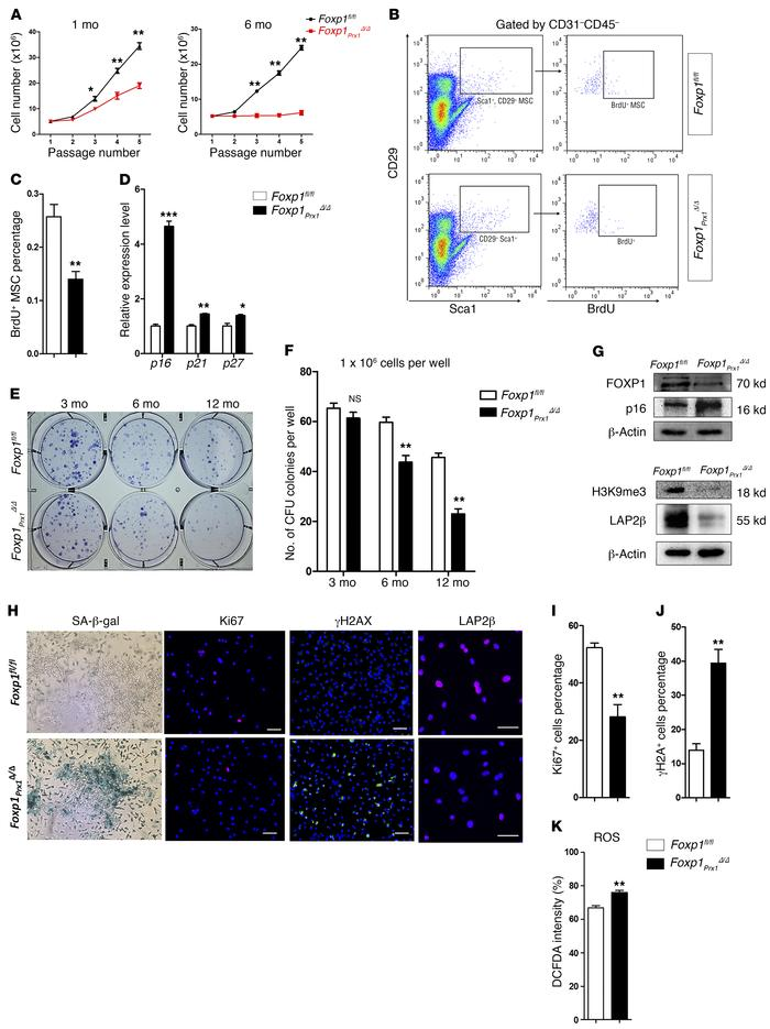 Ablation of Foxp1 results in premature senescence of MSCs. (A) In vitro ...