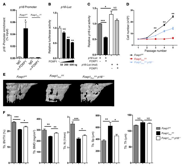 Foxp1 attenuates MSC senescence through repression of p16INK4A transcri...