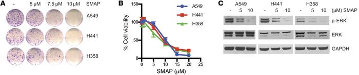 SMAPs decrease cell viability and inhibit MAPK signaling. (A) Clonogenic...