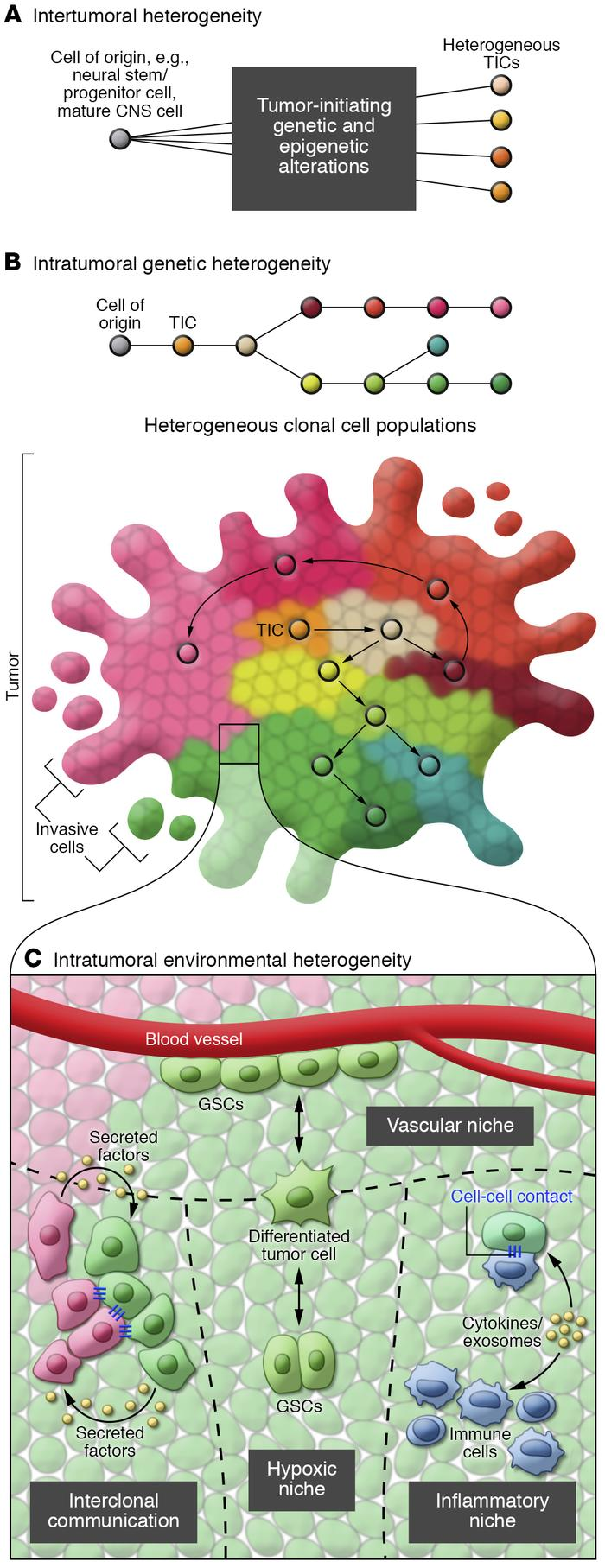 The complexity of inter- and intratumoral heterogeneity in glioblastoma....