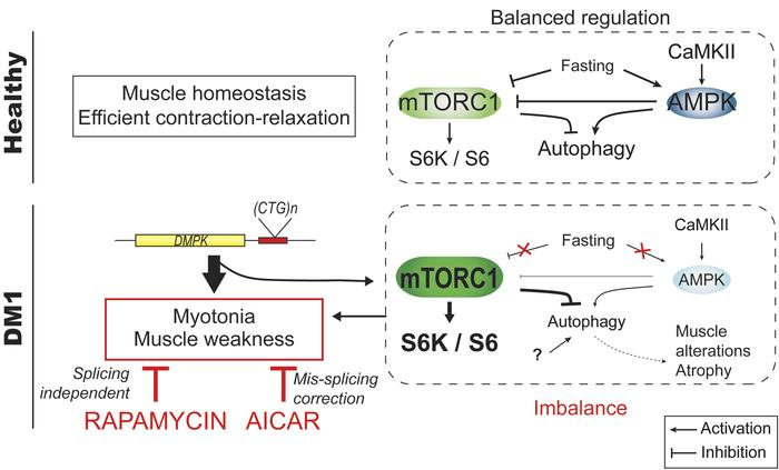 Scheme depicting the deregulation of AMPK/mTORC1 signaling pathways in D...