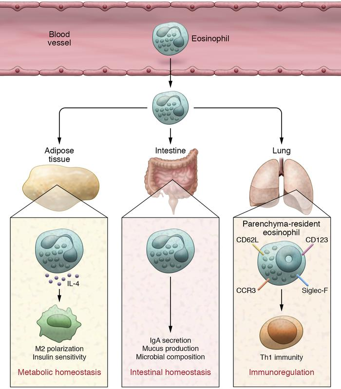 Schematic diagram of the homeostatic roles of eosinophils. Eosinophils t...