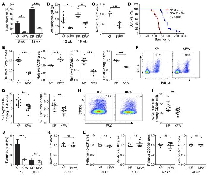 WDR4 ablation suppresses p53 deficiency and Kras-driven lung tumorigenes...