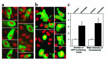 Localization of full-length dbpB in endothelial cells with and without t...