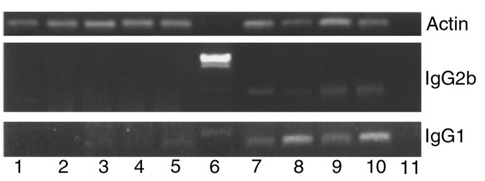 RT-PCR of spleen mRNA for IgG1 and IgG2a sterile transcripts. Lanes 1–3,...