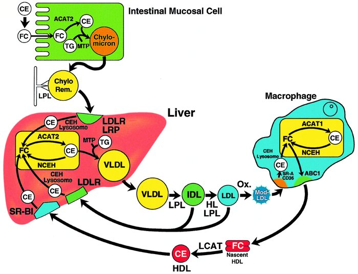 Schematic conceptual overview of cholesterol metabolism. Dietary CEs are...