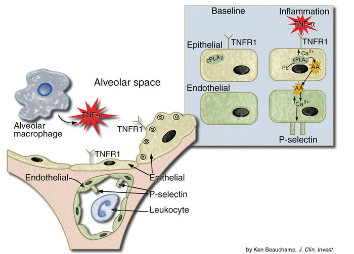 Scheme for alveolar epithelial to endothelial cell signal propagation in...