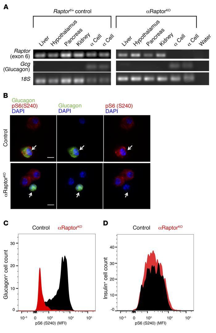 Loss of Raptor and mTORC1 activity in α cells of αRaptorKO mice. (A) Nes...