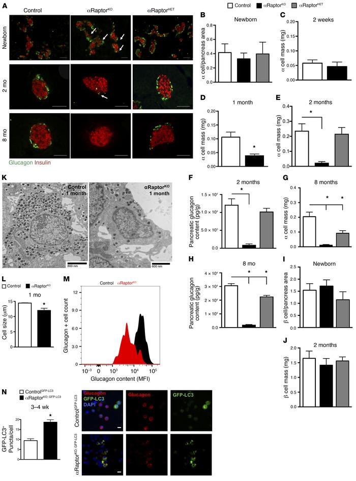 mTORC1 signaling is necessary for maintenance of postnatal α cells. (A) ...
