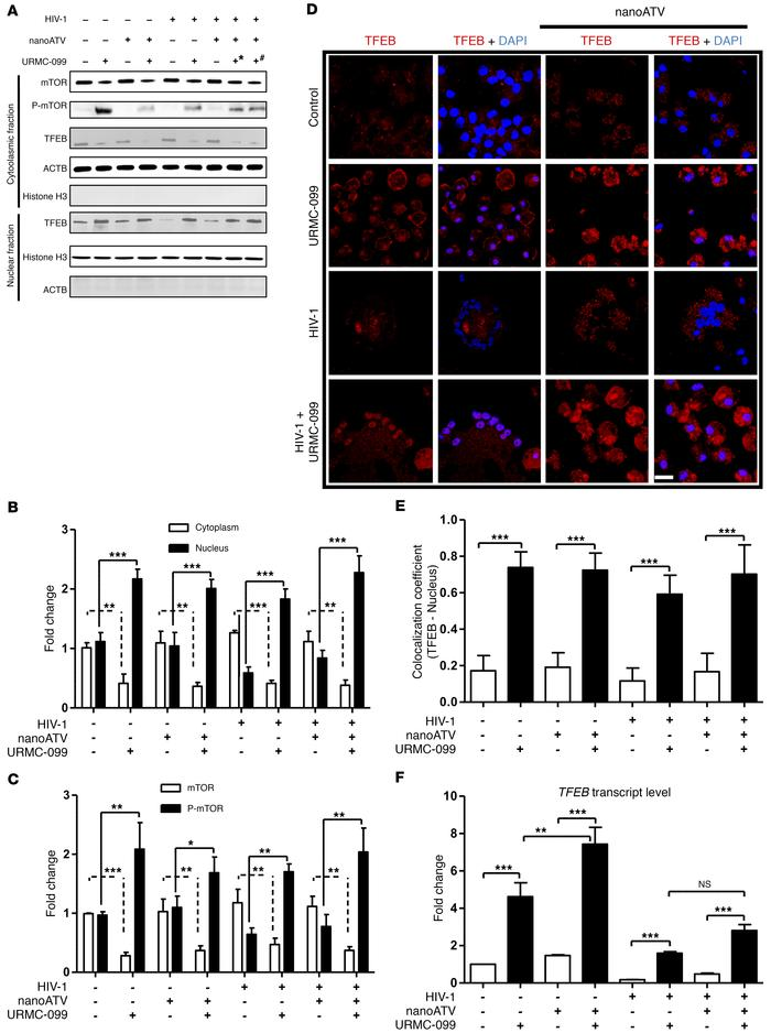 URMC-099 regulates TFEB nuclear localization. Human MDMs were treated fo...
