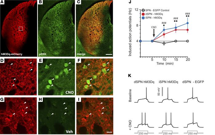 Histomolecular and electrophysiological validation of hM3Dq. (A-I) Photo...