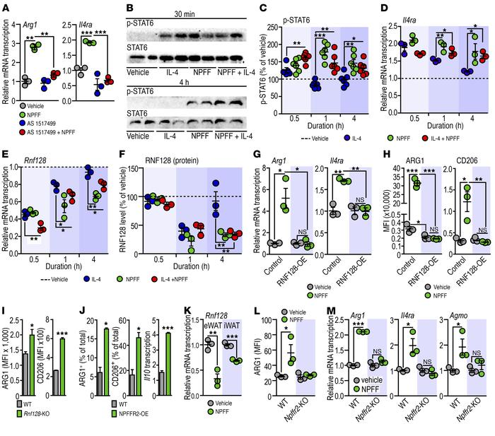 NPFF inhibits p-STAT6 decay and triggers M2 activation of ATMs. (A) Effe...