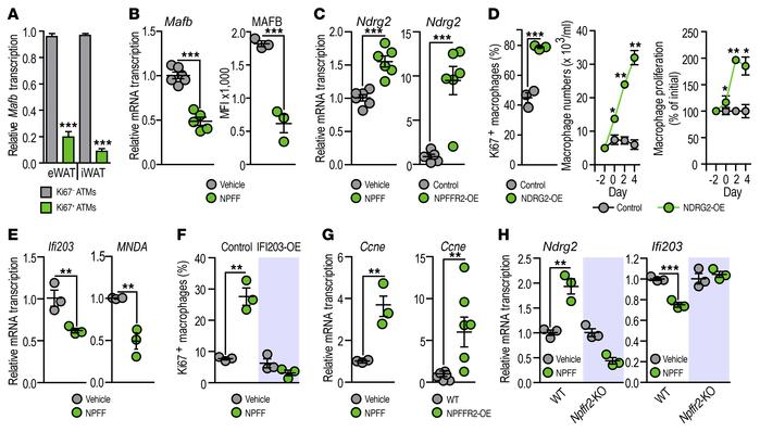 NPFF suppresses the cell cycle inhibiting gene transcription in ATMs. (A...