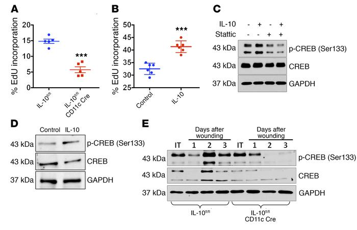 IL-10 promotes IEC proliferation and activates CREB signaling. (A) EdU i...