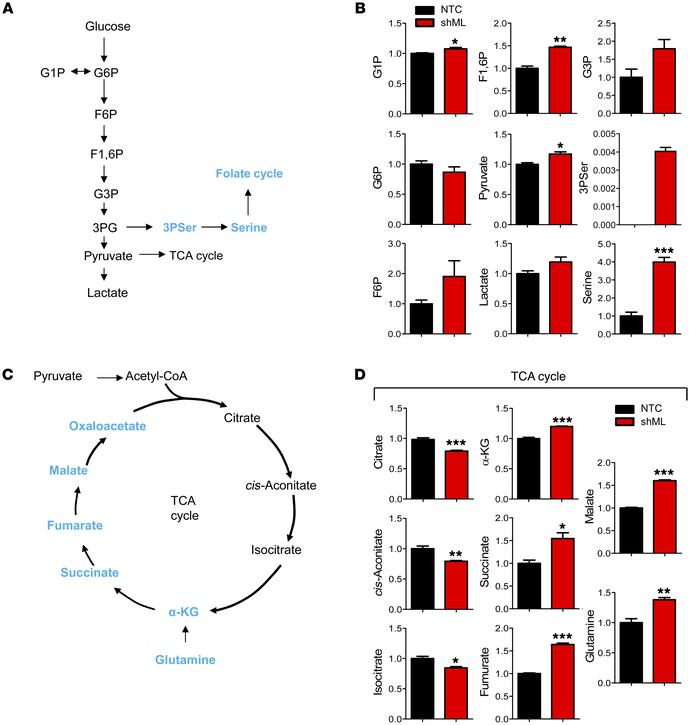Knockdown of MTHFD1L caused serine accumulation. (A) Metabolic intermedi...