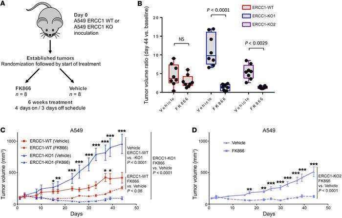 NAMPT inhibition is synthetic lethal with ERCC1 deficiency in in vivo mo...