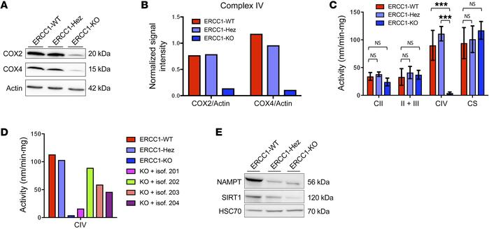 ERCC1-KO cells have a decreased mitochondrial complex IV activity associ...