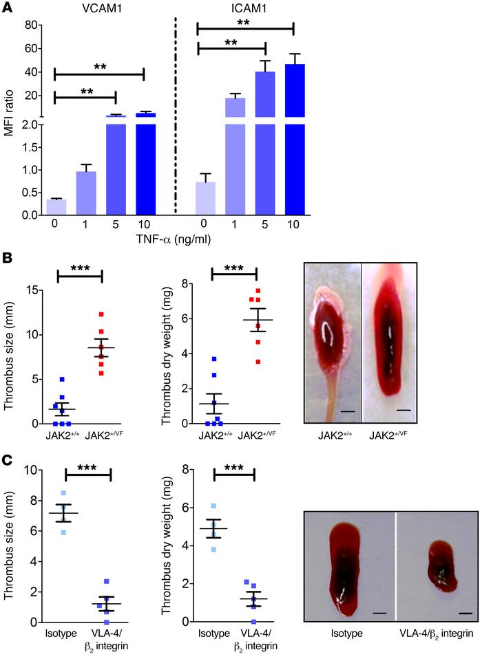 β1 and β2 integrin activity plays a major role in thrombosis formation. ...
