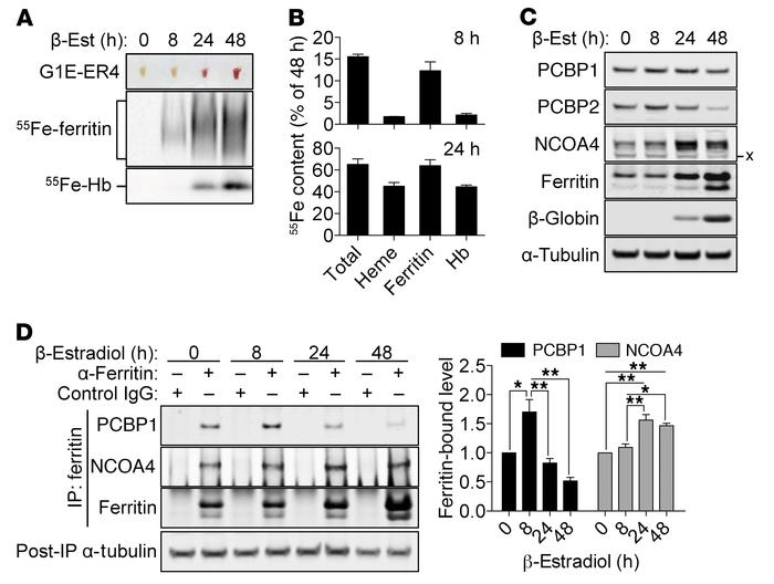 PCBP1 and NCOA4 activities are differentially regulated during rbc matur...