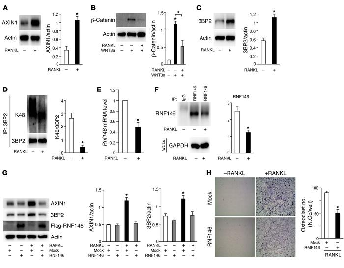 RANKL stabilizes 3BP2 and AXIN1 protein levels through suppression of th...