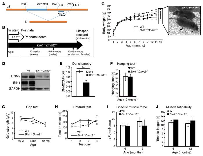Dnm2 downregulation rescues the neonatal lethality of Bin1–/– mice. (A) ...