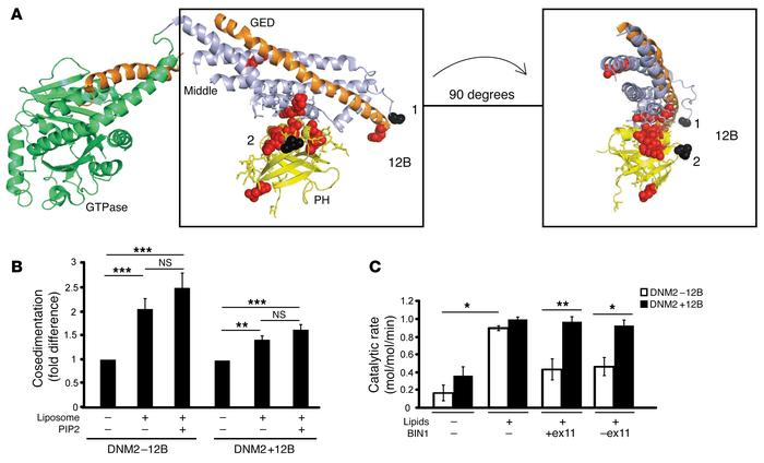 BIN1 inhibits DNM2 in an isoform-dependent manner. (A) Crystal structure...