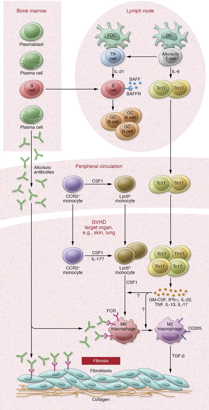 Overview of the cytokine-driven cellular network driving cGVHD. cGVHD is...