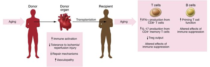 Impact of aging on donor organ and recipient immune system during organ ...